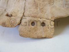 Εικ.4δ. Όστρακο Δάφνης: οπές σε πλαϊνές περιφερικές πλάκες.