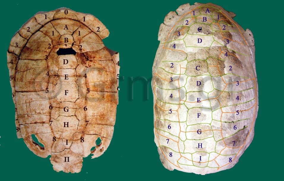 Εικ. 6. Σύγκριση οστράκων Αμβρακίας Ι και Δάφνης.