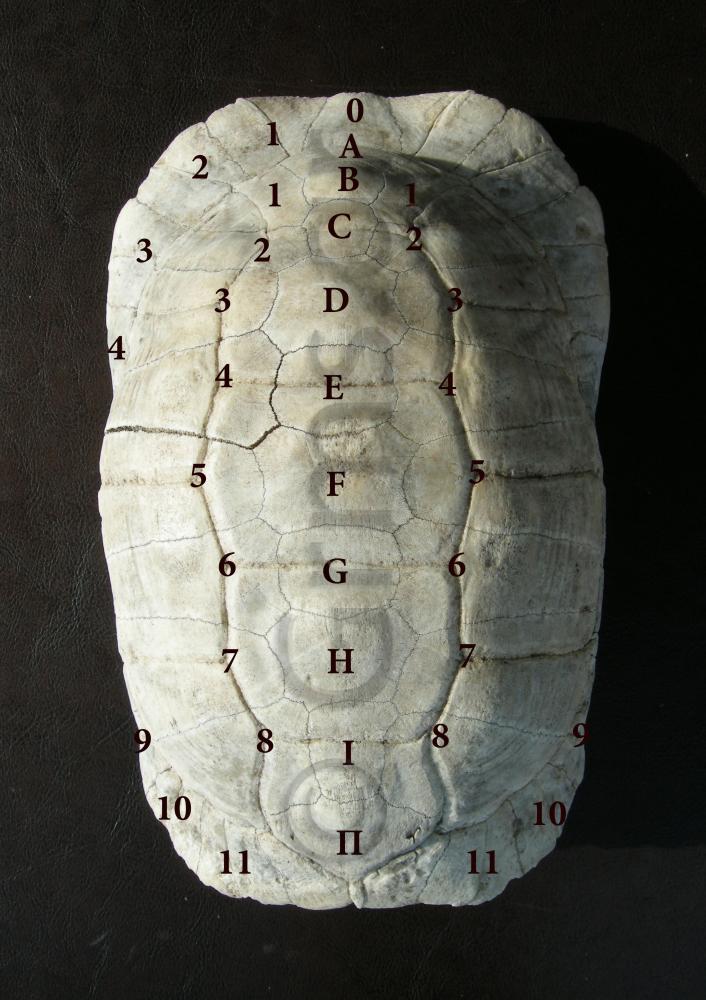 Εικ. 7. Σύγχρονο όστρακο είδους Testudo Marginata.